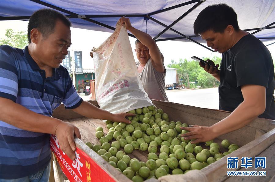 河北赞皇:核桃产业助力脱贫增收